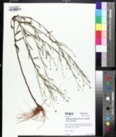 Image of Boltonia diffusa