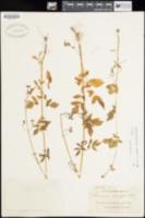 Valeriana sorbifolia image