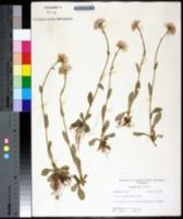 Erigeron pulchellus image