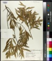 Image of Olea chrysophylla