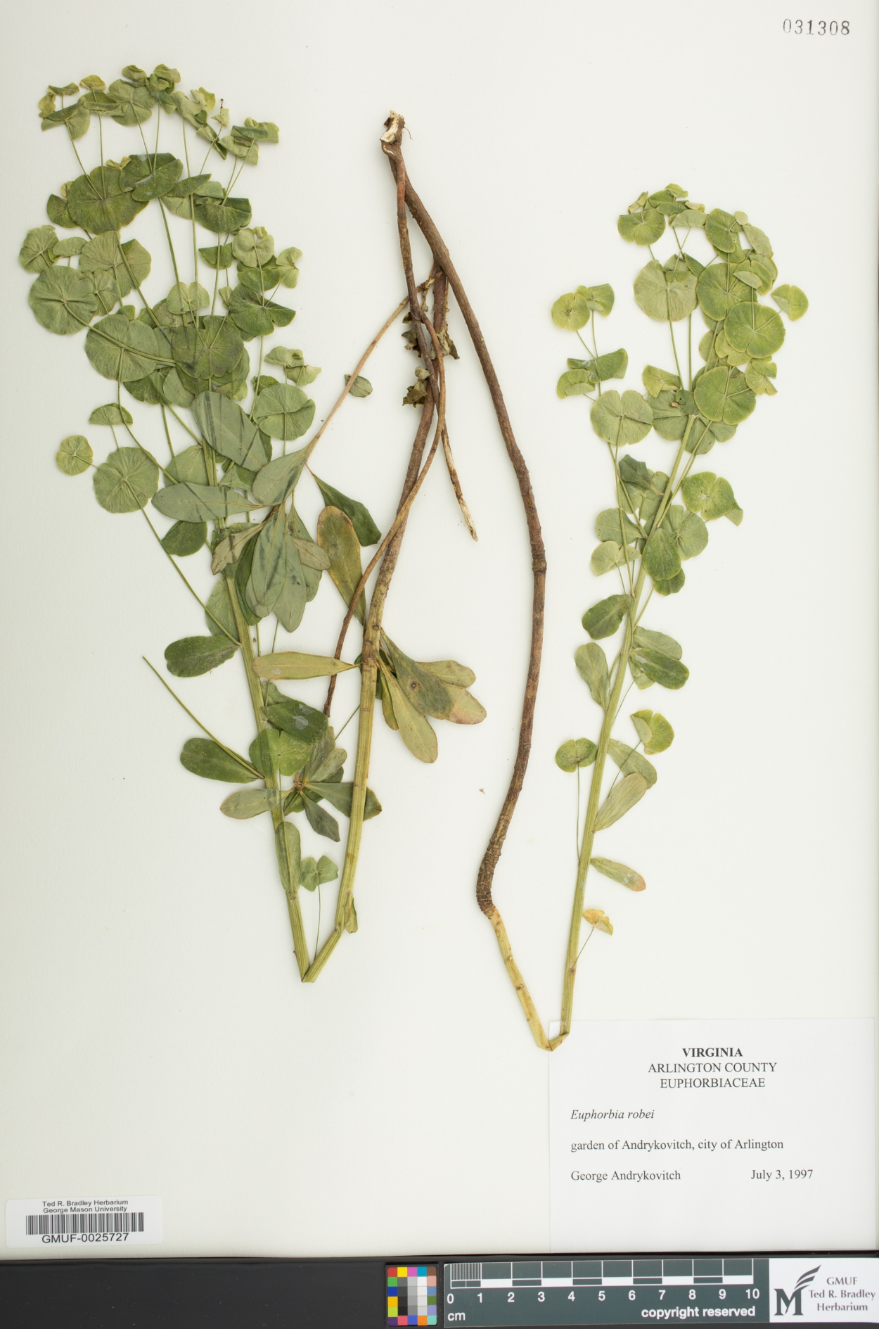 Euphorbia amygdaloides subsp. robbiae image