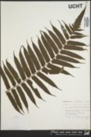 Image of Cyathea podophylla