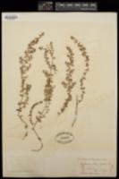 Euphorbia thymifolia image
