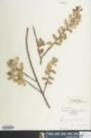 Image of Salix caprea