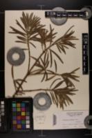 Image of Podocarpus saligna