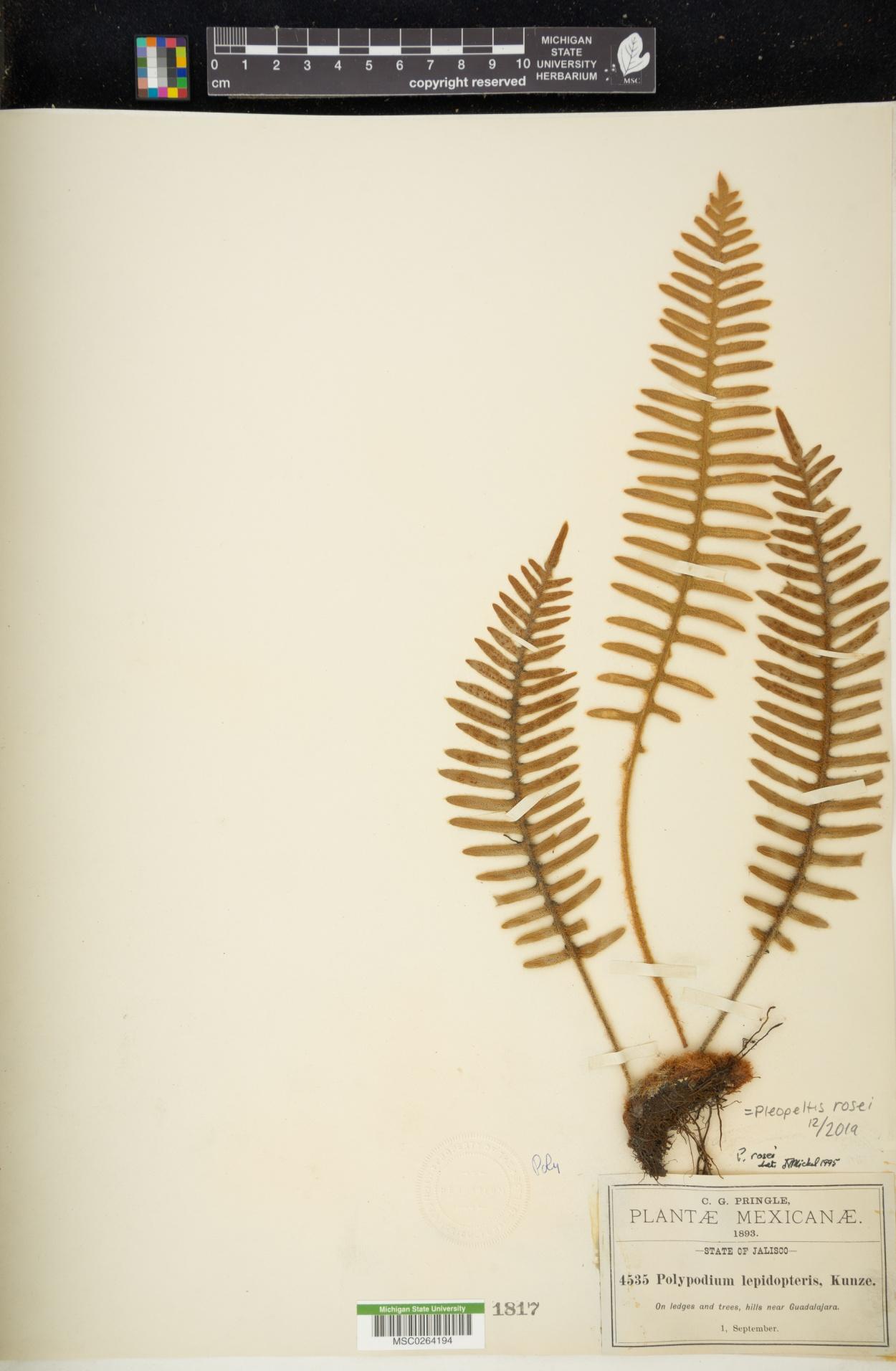 Pleopeltis rosei image
