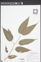 Image of Acer laevigatum
