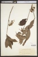 Psychotria tenuifolia image
