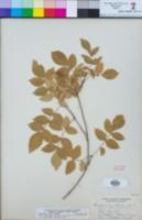 Image of Pandorea pandorana