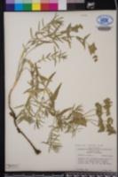 Euphorbia serrata image