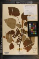 Tilia monticola image