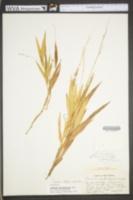 Image of Dichanthelium xanthophysum