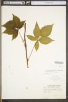 Rubus philadelphicus image