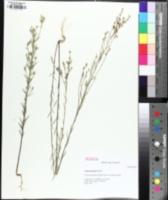 Image of Linum sulcatum