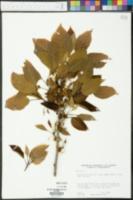 Nyssa aquatica image