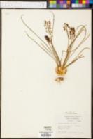 Muscari neglectum image
