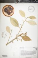 Citrus paradisi image