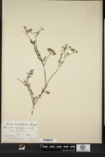Torilis leptophylla image