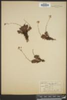 Saxifraga austromontana image