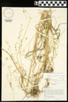Bromus commutatus image