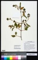 Philadelphus lewisii image