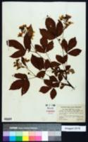 Image of Rubus multiformis