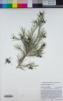 Grevillea rosmarinifolia image