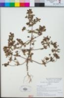 Diplacus bigelovii var. bigelovii image