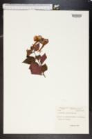 Image of Achimenes grandiflora