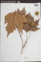Platanus hybrida image