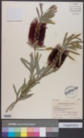 Callistemon phoeniceus image