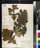 Quercus macrocarpa var. oliviformis image
