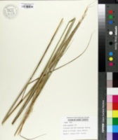 Image of Stipa gigantea