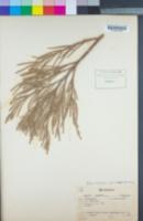 Sequoiadendron giganteum image