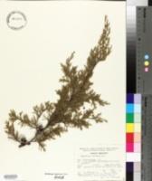 Image of Cupressus lindleyi