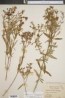 Image of Hypericum lobocarpum