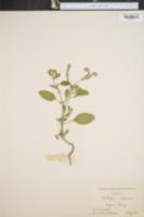 Image of Heliotropium europaeum