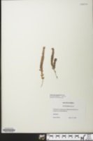 Image of Euphorbia pergamena
