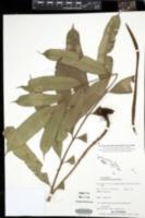 Image of Lomariopsis intermedia