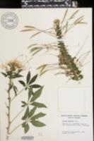 Tarenaya spinosa image