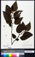 Image of Alnus sieboldiana