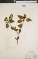 Viburnum nudum var. cassinoides image