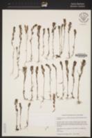 Castilleja tenuis image
