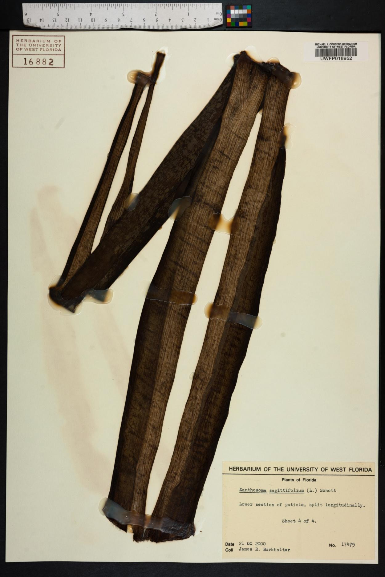 Xanthosoma image