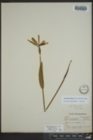 Cleistesiopsis bifaria image
