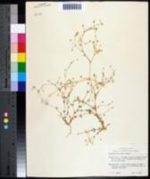Image of Arenaria benthamii
