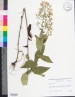 Image of Aster undulatus