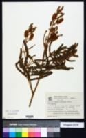 Image of Mimosa furfuracea
