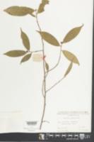 Camellia caudata image