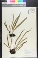 Pleopeltis thunbergiana image